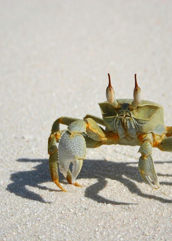Crab, The Maldives