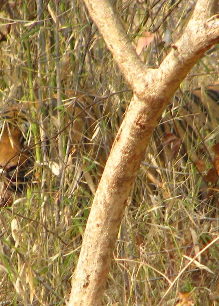 The elusive Bengal tiger