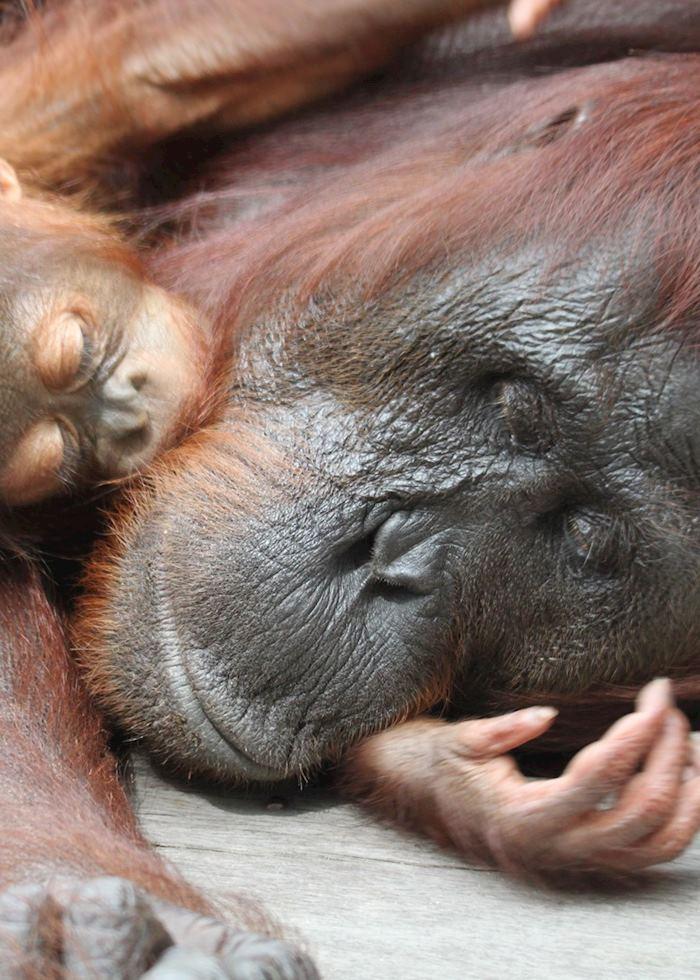 Orangutan and baby, Tanung Puting National park