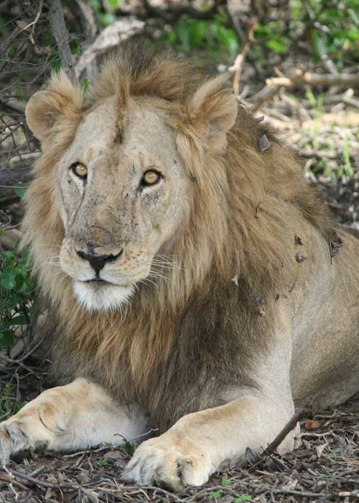 Lion, Katavi National Park