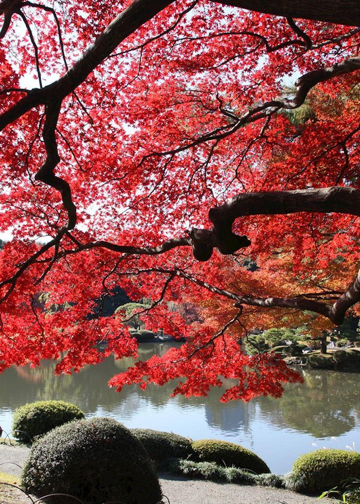 Autumn colours in Shinjuku Gyoen Gardens, Tokyo