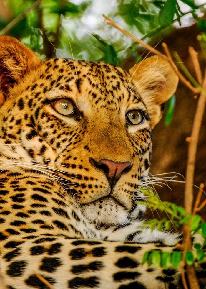 Leopard,Lower Zambezi National Park,Zambia