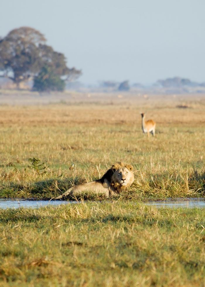 Lions hunting in the Busanga swamps, Kafue National Park