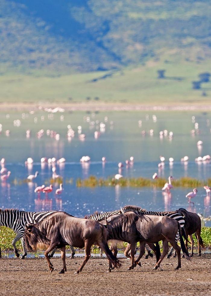Wildebeest, zebra and flamingos in the Ngorongoro Crater