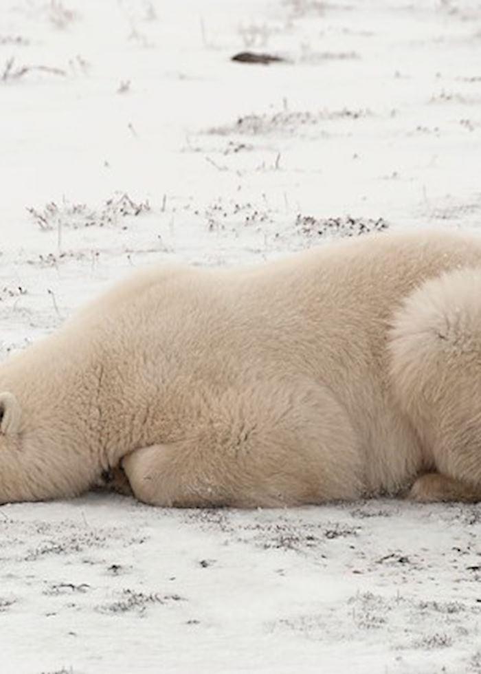 Polar bear in Churchill, Canada