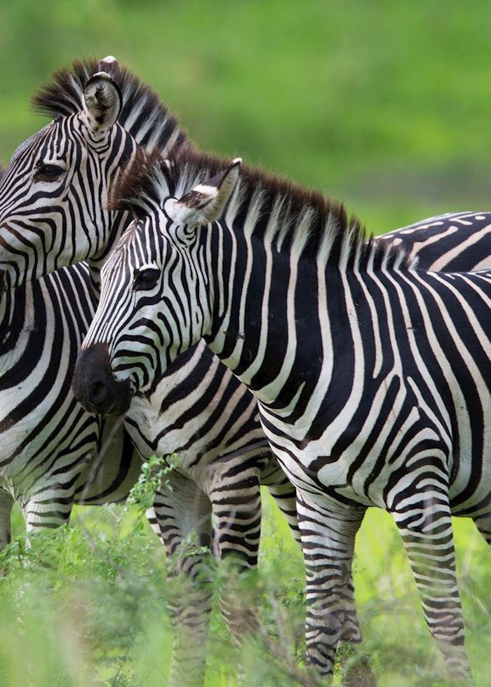 Zebra trio, Mana Pools, Zimbabwe