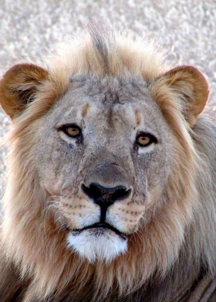 Male lion, Ongava Reserve, Namibia
