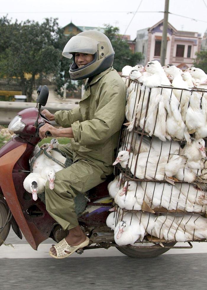 Ducks on motorbike in Hanoi