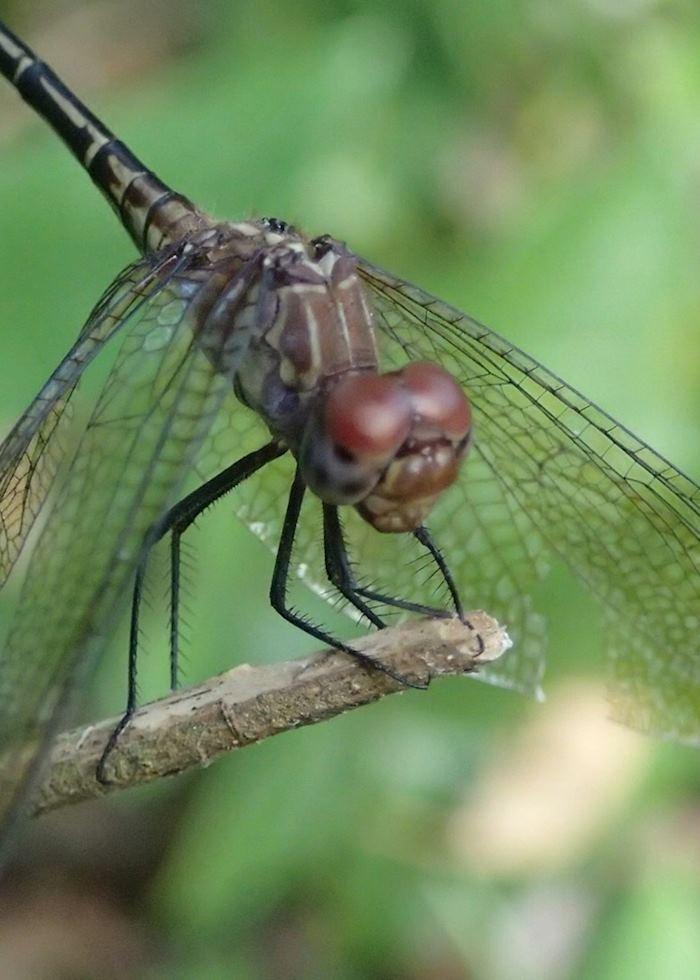 Dragonfly, Belize