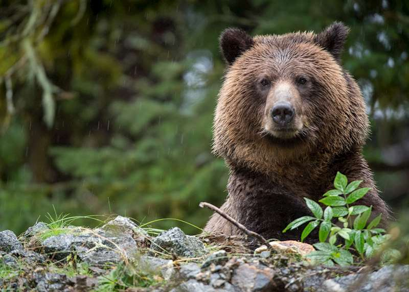 In the path of the grizzly: bear watching in Canada