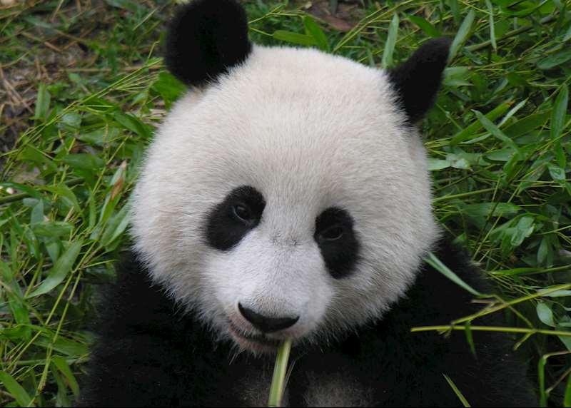 See pandas in China